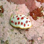 Pretty nudibranch
