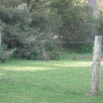 Wallaby in the garden when we got home