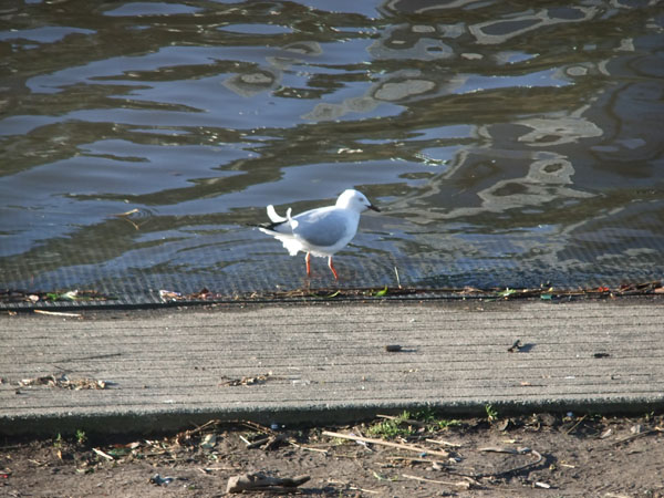 Seagull contemplating a dip