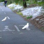Cockatoos crossing the cycle path