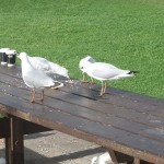 Seagulls eating dinner