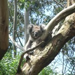 Koala in the tree